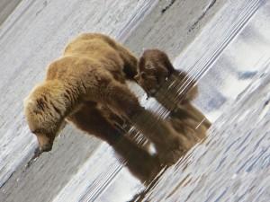 moederbeer met welpen